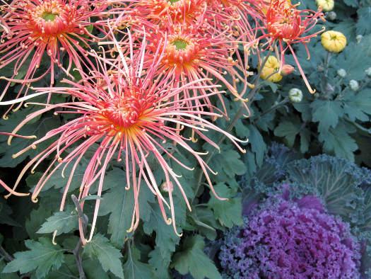 Le chrysanthème araignée (Chrysanthèmes : laissez-vous surprendre)