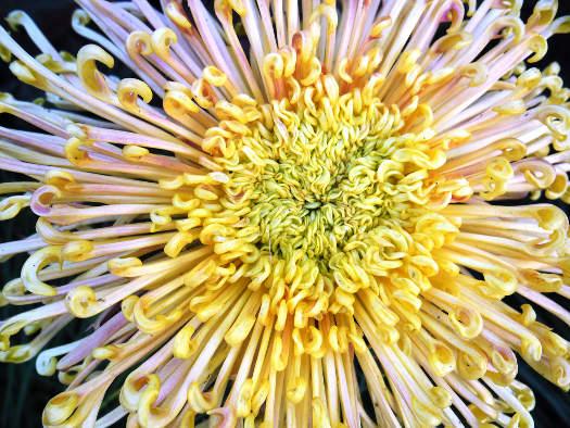 Le soleil du guerrier (Chrysanthèmes : laissez-vous surprendre)