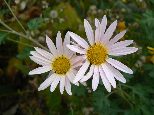 Le chrysanthème marguerite (Chrysanthèmes : laissez-vous surprendre)