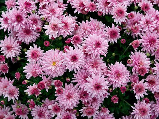 Vivace (Chrysanthèmes : laissez-vous surprendre)