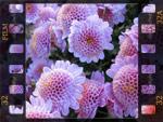 Chrysanthèmes : laissez-vous surprendre