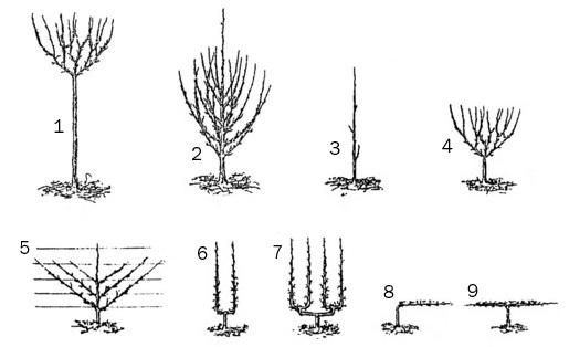 Formes fruitières