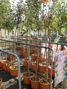 Fruitiers haute-tige en pépinière