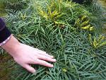 Mahonia eurybracteata 'Soft Caress' : un coup de coeur