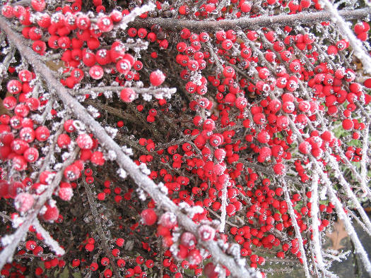 Cotoneaster (Fructifications hivernales)