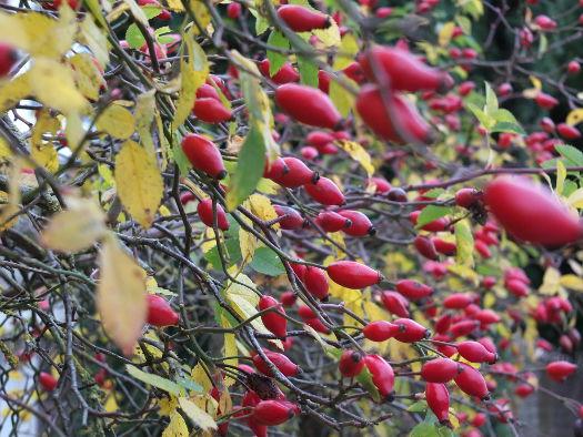 Eglantier (Fructifications hivernales)