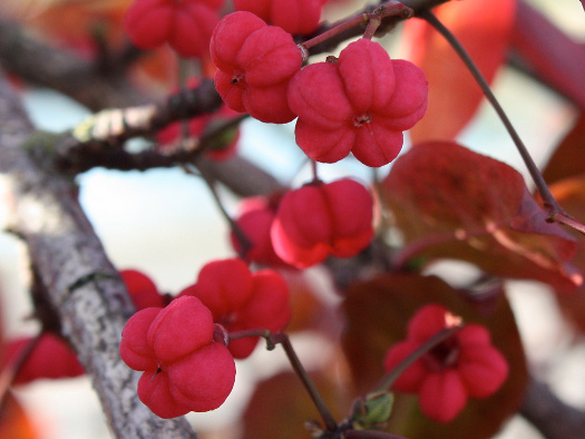 Euonymus europaeus (Fructifications hivernales)