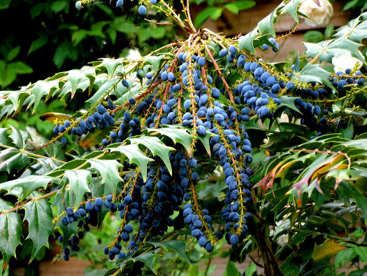 Mahonia (Fructifications hivernales)
