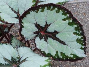 Begonia rex : des feuillages extraordinaires en intérieur