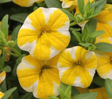 Calibrachoa Superbells Lemon Slice