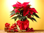 Des plantes pour fêtes de fin d'année