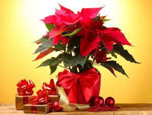 Plantes fleuries pour f tes de fin d 39 ann e for Plante de noel
