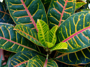 plante verte a feuille rouge