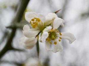 Les fleurs odorantes du Poncirus