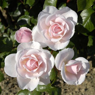 Les roses anciennes andr eve for Entretien jardin granville