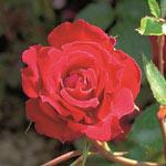 Rosier Red Parfum
