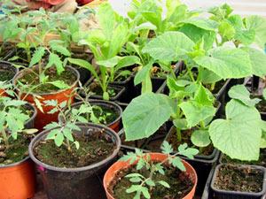 Semis de légumes en véranda