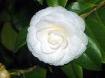 Diaporama : Camellias : des fleurs haute-couture