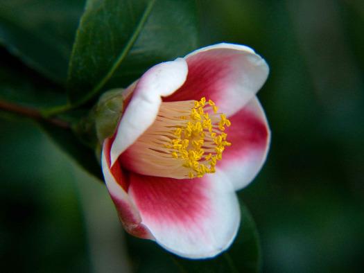 La fleur simple (Camellias : des fleurs haute-couture)