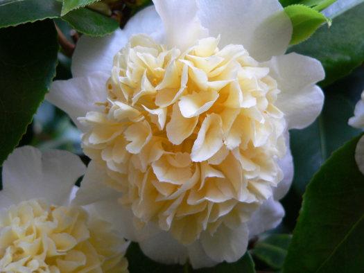 La fleur d'anémone (ou anémoniforme) (Camellias : des fleurs haute-couture)