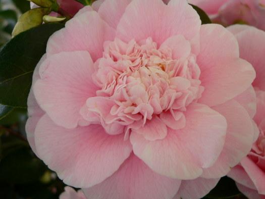 La fleur de pivoine (ou péoniforme) (Camellias : des fleurs haute-couture)