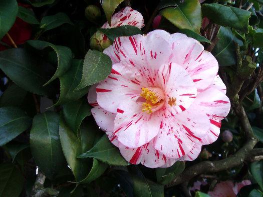 La fleur semi-double (Camellias : des fleurs haute-couture)
