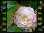 Camellias : des fleurs haute-couture