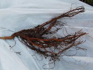 Plante à racines nues