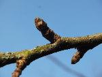 Rameaux et bourgeons des arbres fruitiers