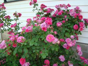 Les rosiers apprécient les sols argileux
