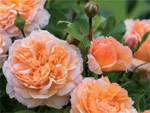 The Lady Gardener : une nouvelle rose chez David Austin