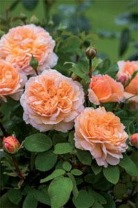 The Lady Gardener - rosier David Austin