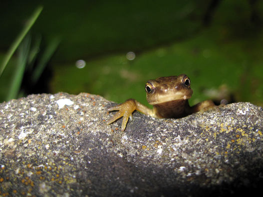 Discrets amphibiens