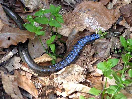 Faux serpent (Zoom sur le jardin)