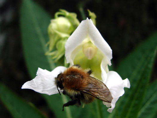Pollinisateurs (Zoom sur le jardin)