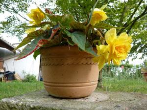Bégonia fleuri en pot