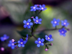 fleurs de brunnera