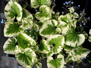 Brunnera macrophylla 'Variegata'