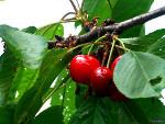 Les meilleures variétés de cerisier