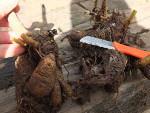 Diviser les bulbes, rhizomes et autres tubercules