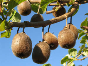 Kiwis : les meilleures variétés, autofertiles ou pas