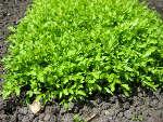 Cresson : semis, culture et récolte