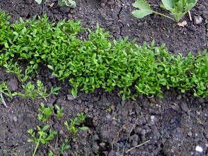 Semis de cresson alénois