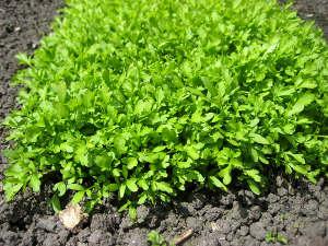 Faire pousser du cresson : du semis à la récolte