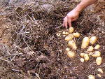 Pommes de terre : butter ou pailler ?