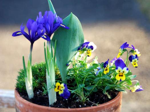 Potée printanière (Bulbes du printemps: les plus belles associations)