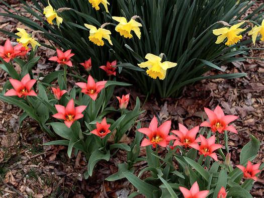 Narcisses et tulipes naturalisées