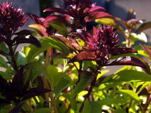 Basilic pourpre sur le point de fleurir