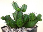 Cactus, plantes succulentes : quelle différence ?