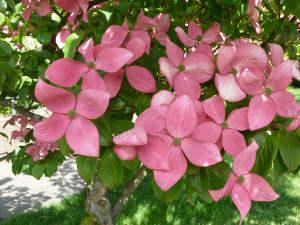 bractées roses d'un Cornus kousa